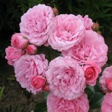 Роза миниатюрная Блуэнет
