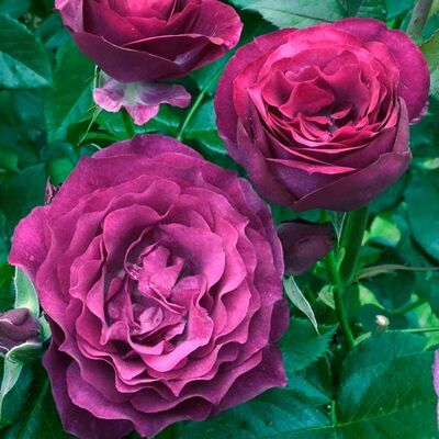 Роза флорибунда Блю Иден