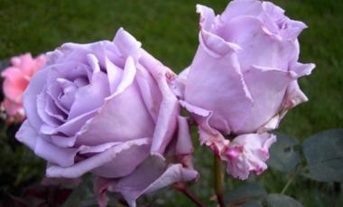 Роза чайно-гибридная Блю Парфум (Blue Parfume)