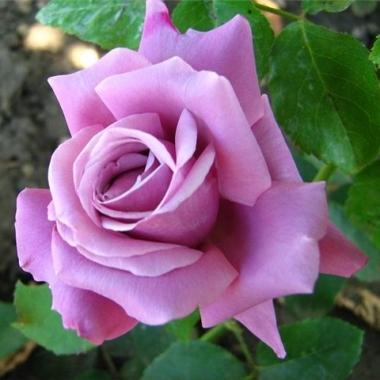Роза парковая Блю Вандер