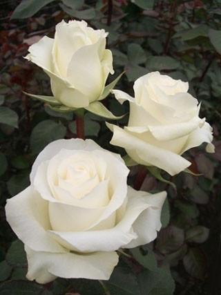 Роза чайно-гибриднгая Боинг