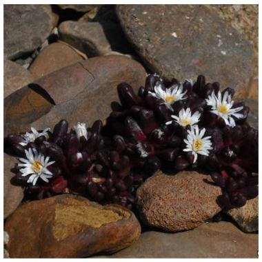Делосперма альпийская бордовая