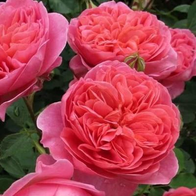 Роза английская Boscobel