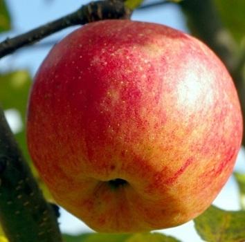 Яблоня Бребурн (зимнее)
