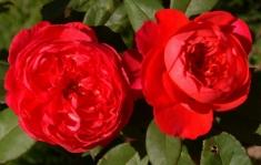 Роза английская Benjamin Britten