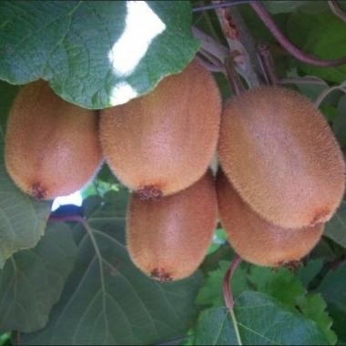 Киви плодонос Бруно