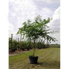 Бундук двудомный Кофейное дерево