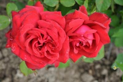Роза чайно-гибридная Бургунд