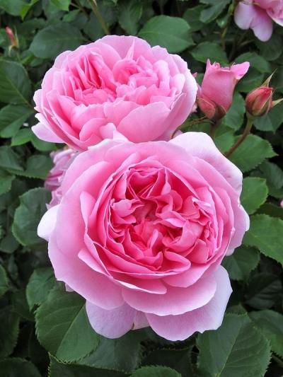 Роза английская Мэйд Мэрион/Maid Marion