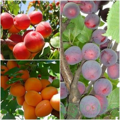 Дерево сад абрикос+алыча колона (Цунами, Шлор Циран, Алыча колоновидная)