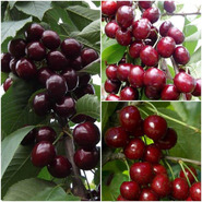 Дерево-сад черешня (Самба, Карина, Мелитопольская чёрная)