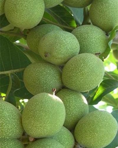 Грецкий орех Chandler (Чандлер) США