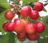 Черешня Брянская Розовая