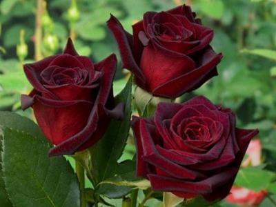Роза чайно-гибридная Чёрная Магия\Black Magic