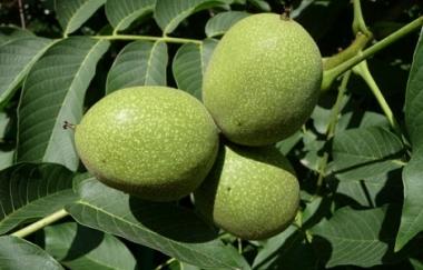 Грецкий орех крупноплодный Черновицкий 2