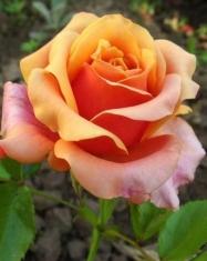 Роза чайно-гибридная Черри Бренди