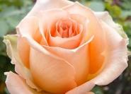 Роза чайно-гибридная Шок Версилия