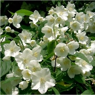 Жасмин белый садовый
