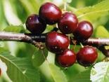 """Вишнёво-черешнёвый гибрид """"Чудо-вишня""""(Чери-вишня)(средняя)"""