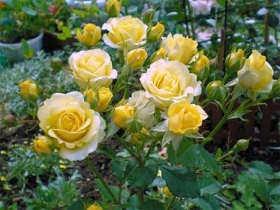 Роза бордюрная Комтесс дю Барри