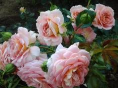 Роза флорибунда Концерто 94