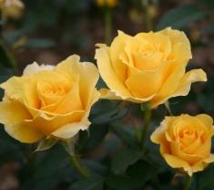 Роза чайно-гибридная Голд