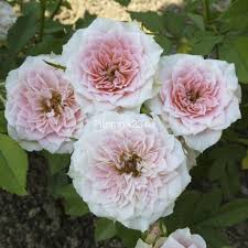 Роза миниатюрная Даниэла