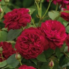 Роза английская Дарси Бассел