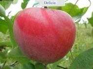 Яблоня Деличия (США)