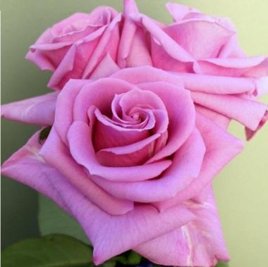 Роза чайно-гибридная Делинах