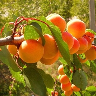 Дерево-сад Абрикос 3 сорта, 3-х летнее