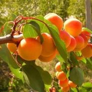 Дерево-сад Абрикос 4 сорта, 3-х летнее зоряный,шалах,олимп,сульмона