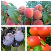 Дерево сад персик Ред Хевен + абрикос Эрли Блаш + слива Амерс