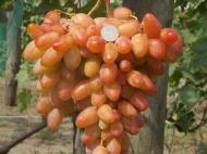 Виноград Диксон