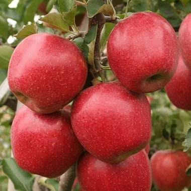 Яблоня карликовая Дискавери