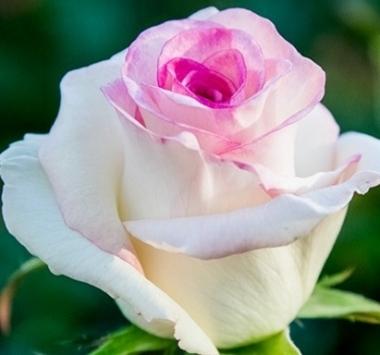 Роза чайно-гибридная Дольче Вита\Dolce Vita
