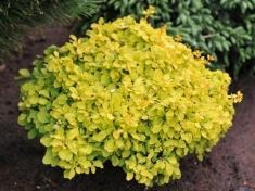 Душица обыкновенная Ауреа/Origanum vulgare aureum