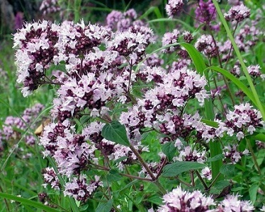 Душица обыкновенная\Origanum vulgare L.