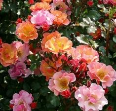 Роза почвопокровная Джаз/Jazz
