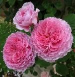 Роза английская Джеймс Голвей (шраб)