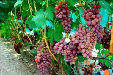 Виноград кишмиш Джин