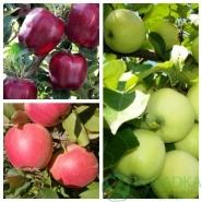 Дерево сад яблоня (Мутсу+Глостер+Джонаголд)