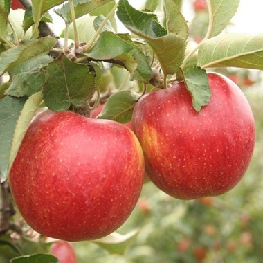 Яблоня Джонаголд (США)