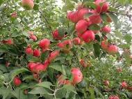 Яблоня Джонатан (США)