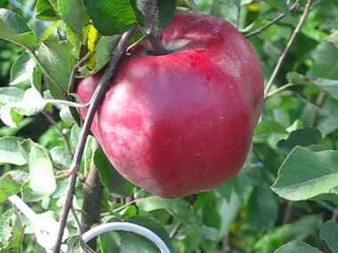 Яблоня Джумбо Помм (Франция)
