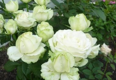 Роза чайно-гибридная Эдванс/Advance