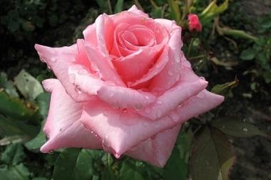 Роза чайно гибридная Эйфелева Башня