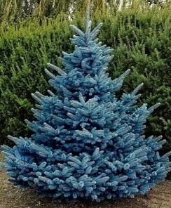 Ель голубая (100-120 см)