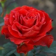 "Роза чайно-гибридная ""Эль Торо"""