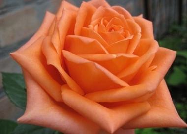 Роза чайно-гибридная Эльдорадо\Eldorado